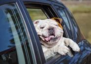pet seat belt laws