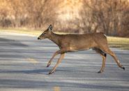 deer road